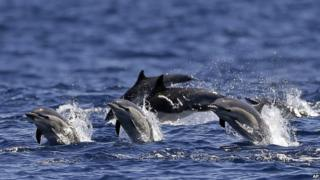 Dolphins race alongside a yacht during a whale watching trip off the coast of San Diego in the US