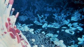 Giant tube worms anchored on the seabed by a hydrothermal vent.