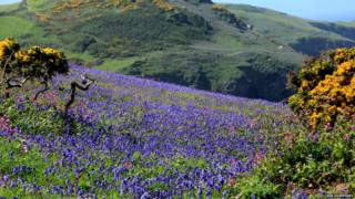 A valley of bluebells mixed among wild flowers on a hillside