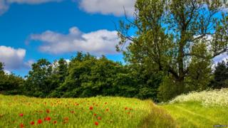 Poppies and trees under a blue sky with some cloud