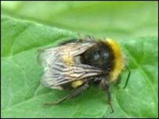 Bumblebee (BBC)