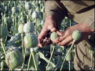 A man in an opium poppy field in Helmand. File photo