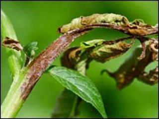 Diseased potato plant