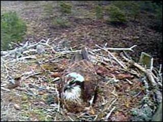 EJ on nest at Loch Garten. Image: RSPB