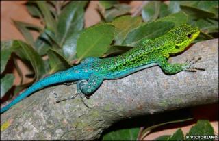 Male Liolaemus tenuis lizard