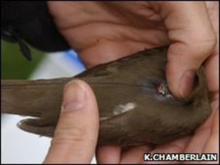 Tag being attached to a Swainson's thrush (Image: Ken Chamberlain/Ohio State University)
