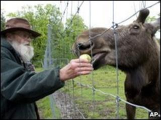 David Lawrence feeds 'Pete the Moose'