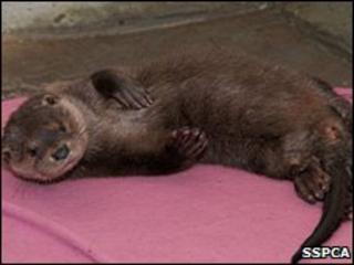 Fyne, the otter. Image: SSPCA