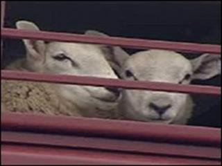 Sheep (generic)