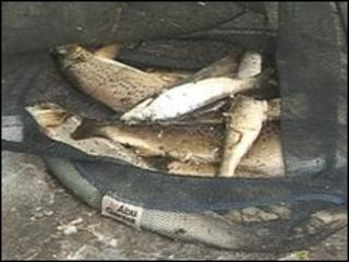 Fish from the River Colne