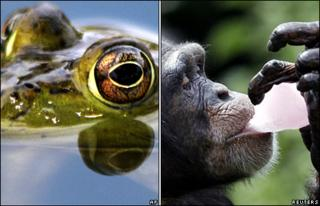 Frog and chimpanzee