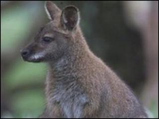 Wallaby (generic)