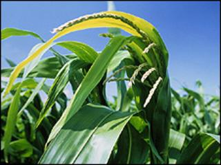 GM maize (file pic)