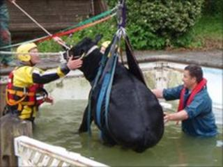 The cow being lifted from the pool