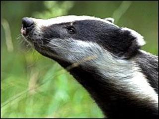 The European badger