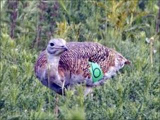 Female great bustard on Salisbury Plain, Wiltshire