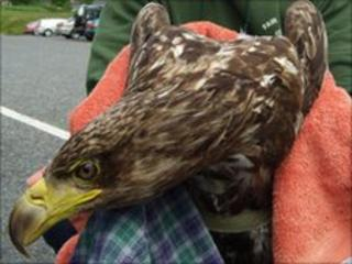 Injured sea eagle