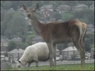 Red deer spotted in Blackburn