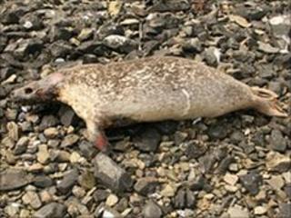 Dead seal on Shetland