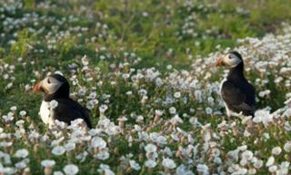 Puffins on Skomer island