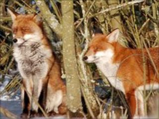 Foxes photographed by Tony Pember on 10 January on the Taff Trail at Tongwynlais, a few miles from the Llanishen schools