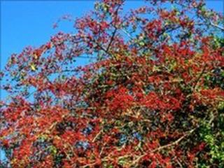 Hawthorn (Crataegus monogyna) plant often used as a hedge-generic, picture by Maria & Bruno Petriglia