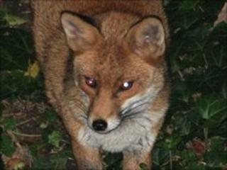 Fox pictured in London