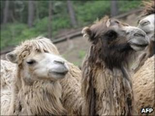 Camels, file photo
