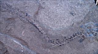 Thrislington fossil