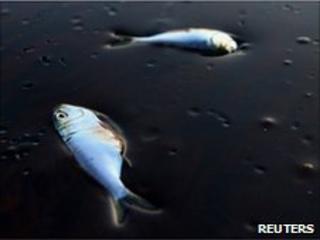Poggy fish lie dead stuck in oil in Bay Jimmy near Port Sulpher, Louisiana June 20, 2010