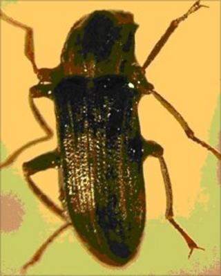 Riffle beetle Stenelmis canaliculata