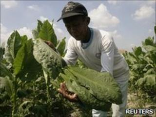 A worker harvests tobacco leaves in north Sumatra