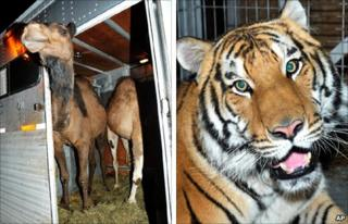 Camels Shawn and Todd, and Jonas the tiger after being found (22 June 2010)
