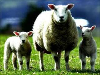 There has been a decline in locally reared lambs available for slaughter