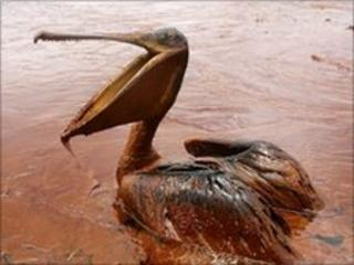 Brown Pelican sits in a pool of oil