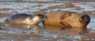 Harbour seal and pup (Image: K.Kreuijer)