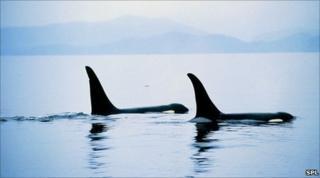 Orcas (SPL)