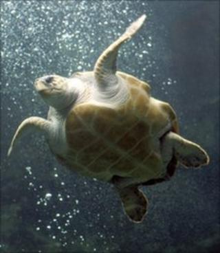 Loggerhead turtle (BBC)