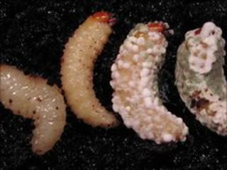 Healthy and infected larvae of the black vine weevil