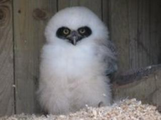Spectacled owl - Pic: World Owl Trust