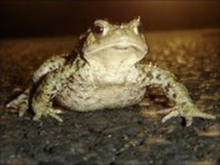 A common toad