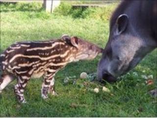 Tapir calf with mother