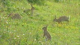 Rabbits in a field close to the project