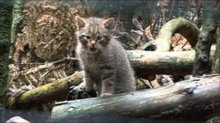 wildcat kitten ta Highland Wildlife Park