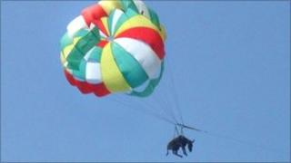 Picture taken on July 9, 2010 shows a donkey attached to a parachute flying over a beach in Golubitskaya.