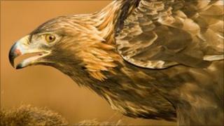 Golden eagle (Image courtesy of RSPB)