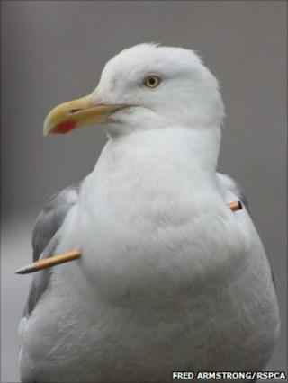Seagull shot with crossbow