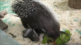 African Crested Porcupines Pip and mother Snuffit. Pic: Colm Farrington