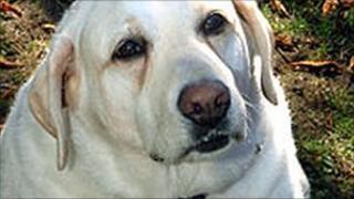 An overweight dog
