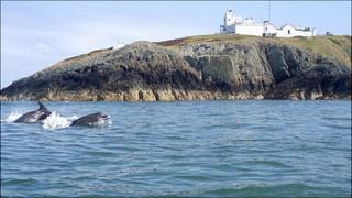 Dolphins swim past Point Lynas lighthouse